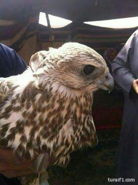 طرح عدد من الطيور شرق محافظة طريف ( صور )
