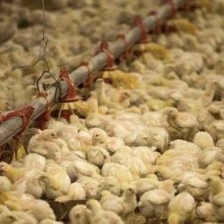"""""""البيئة والمياه والزراعة"""" تقرر حظر استيراد الطيور الحية من ماليزيا"""