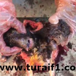 بالفيديو..ولادة خروف برأسين وثمانية أرجل بطريف