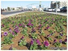 زراعة أكثر من 70 آلف شتلة ورد مختلفة الأشكال