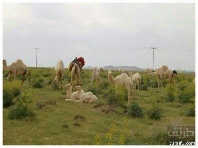 اخبارية طريف تزور ربيع الإكيدر في شمال الأردن ( تقرير مصور )