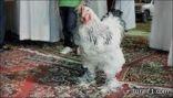 """بالصور.. مسابقة بالرياض لاختيار """"أجمل دجاجة"""" في الخليج"""