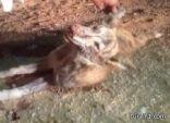 """بالصور مواطن بالقريات يقتل حيوان غريب يعتقد أنه """"الشيب"""""""