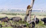 قطيع من الجاموس الغاضب يحاصر أسد في كينيا