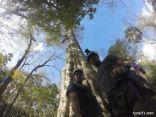 باحثون يستخدمون جينات شجرة نادرة بفلوريدا لزراعة غابات عتيقة
