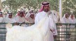 مربي كويتي يرفض بيع ماعزه الضخم بـ 33 ألف دولار